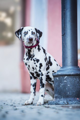 Young dalmatian dog sitting in a city