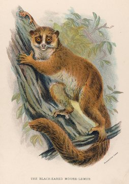 Lemur Black Eared 19c