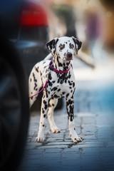 Young dalmatian dog between cars