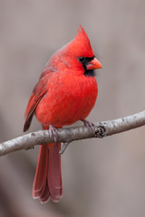 Northern Cardinal with Tufted Crest