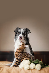 a dog border collie and cat on bed with flowers. concept love. 8 march
