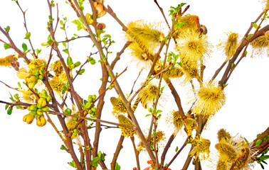 Salix caprea, goat willow, pussy willow, great sallow, close up