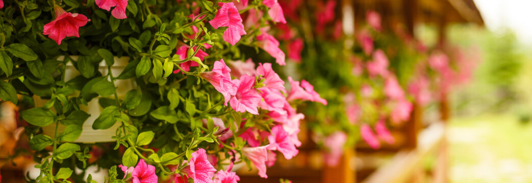hanging pots of flowers petunias pale pink color on a background of a wooden frame with carved eaves