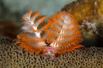 Christmas Tree Worm on a coral head