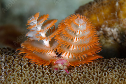 Christmas Tree Worm On A Coral Head Stock Photo And Royalty Free