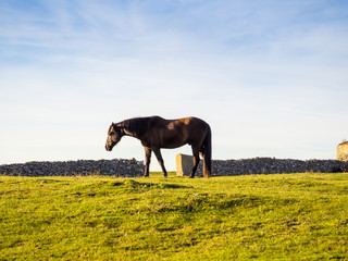 Horse grazing in a protected dehesa with stone walls in Spain