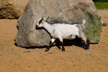 Full body of young African pygmy goat