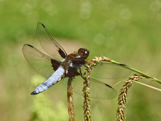 "Insekt - Libelle ""Plattbauch"""