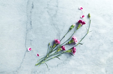 Pink dianthus flowers on gray stone background. Flat lay. Copy space