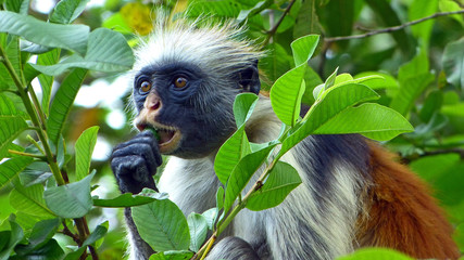 Red colobus monkey eating fruit