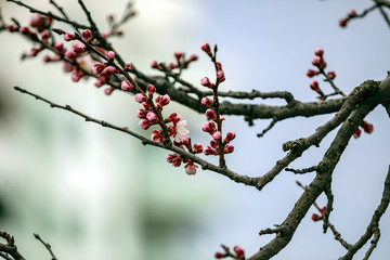 Blooming cherry tree branch on a spring sunny day