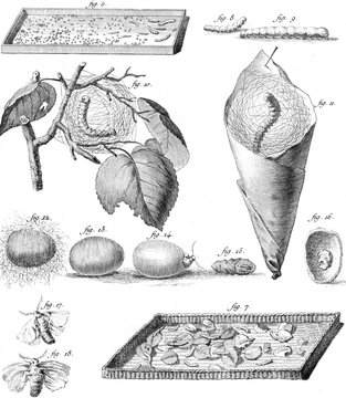 Stages of the Silkworm