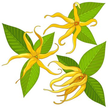 Ylang Ylang Exotic Scented Flowers and Leaves Vector Illustration isolated on White