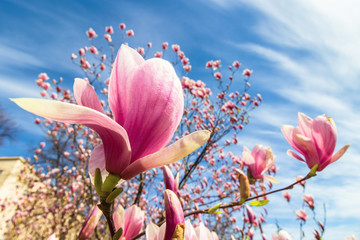 magnolia tree in blossom. beautiful purple flower close up. background with blue sky and clouds. windy day