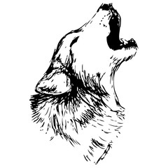 Wolf vector illustration. Hand drawn isolated on white background