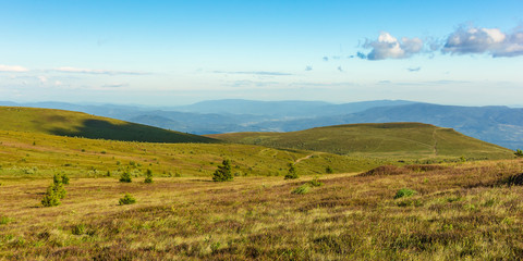 panoramic summer landscape in mountain. rolling hills with spruce trees on the alpine meadow in evening light. ridge in the distance. fluffy clouds on a blue evening sky