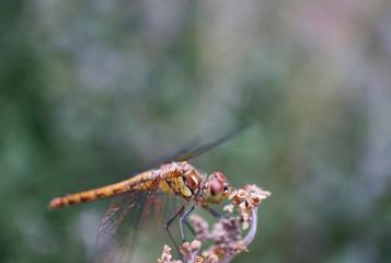 "Insekt - Libelle ""Großer Blaupfeil"""