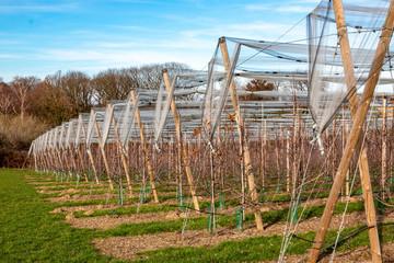 Reihen mit Obstbäumen und Schutznetz im Winter/Frühjahr