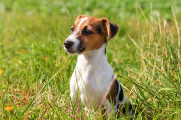 Small Jack Russell terrier puppy sitting in low grass, sun shining on her.