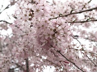 Papiers peints Fleur de cerisier Cerisier du Japon Sakura-13
