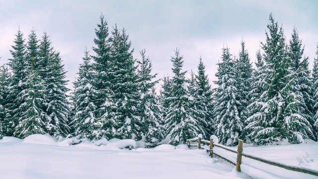 Rural winter landscape - view of the snowy pine forest in the mountains