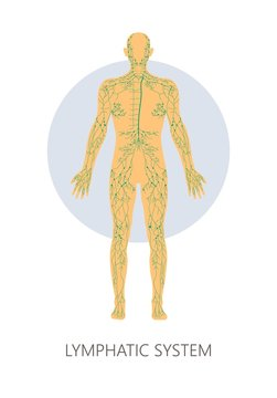 Lymphatic system isolated anatomical structure medicine and healthcare
