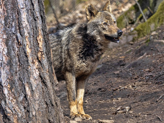 Female Iberian Wolf, Canis lupus signatus, observes the surroundings