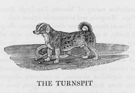 Bewick Turnspit