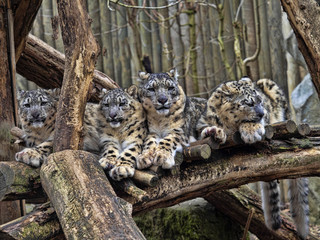 Female Snow leopard, Uncia ounce, with subadult chick
