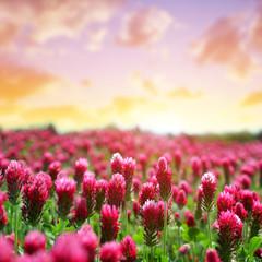 Field of flowering crimson clovers (Trifolium incarnatum) at sunset.Spring season.