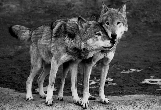 A charming moment of tenderness. Two wolves, a male and a female, enjoy together on a cold spring day.  Black and white film photo with film grain