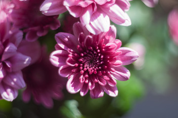 chrysanthemum pink photo