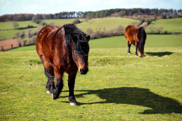 Wild Devon horse in the countryside