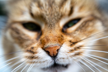 nose of a cat, close-up