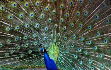 The Indian peafowl or blue peafowl (Pavo cristatus), a large and brightly coloured bird, is a species of peafowl