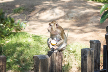 Adult monkey eating corn sitting on a wooden fence