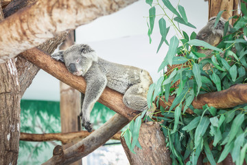 Australian Koala (Phascolarctos cinereus) sleeping in a eucaplytus gum tree