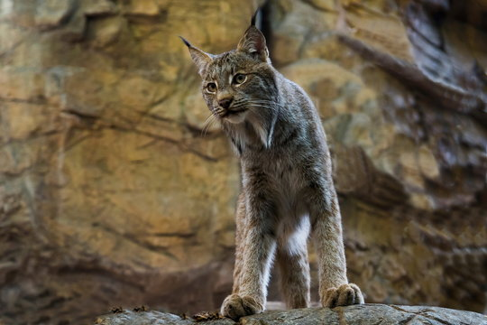 Young Canada lynx standing staring down from rocky ledge