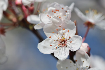 Close up of a branch of white cherry blossom