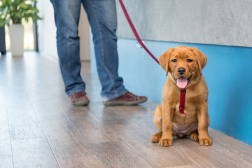 Labrador puppy with his owner on a leash at the reception of a modern veterinary practice