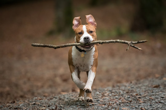 American Staffordshire Terrier puppy playing in forest.