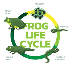 Frog Life Cycle Cartoon Cute Vector Illustration Set
