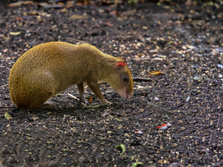 Central American agouti, Dasyprocta punctata, is a smaller agile rodent, Guatemala