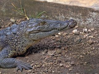 Morelet's Crocodile, Crocodylus moreletii, inhabits the forest rivers of Central America, Guatemala