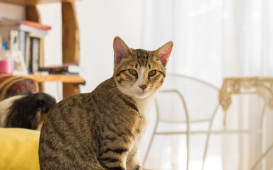domestic stripped cat portrait looking at camera in bright pastel studio frat unfocused interior background