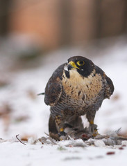 View of a peregrine falcon standing on the snow in the winter forest