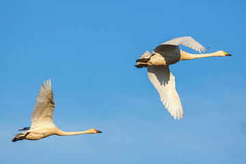 Whooper swans flying at a blue sky