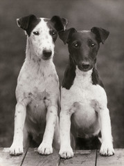 Smooth Fox Terriers