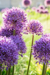 Blooming allium ornamental onions in a field of greenery on a beautiful spring day.