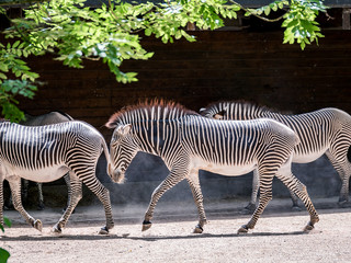 Image of herd of zebras walking through the sunshine in a zoo